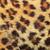 texture · Leopard · pelliccia · bianco · nero - foto d'archivio © taviphoto