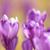 wiosną · górskich · łące · piękna · fioletowy - zdjęcia stock © taviphoto