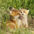 belo · raposa · europeu · vermelho · família · primavera - foto stock © taviphoto