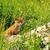 jungen · rot · Fuchs · Bereich · Frühling · Gras - stock foto © taviphoto