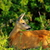 close up of wild roe deer doe stock photo © taviphoto