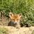 rojo · Fox · entrada · saskatchewan · naturaleza - foto stock © taviphoto