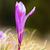 violeta · açafrão · pormenor · açafrão · crescente - foto stock © taviphoto