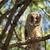 juvenile long eared owl stock photo © taviphoto