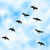 cormorant flyover stock photo © tawng