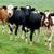 koeien · bruin · witte · hemel · wolken · landschap - stockfoto © tepic