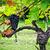 videira · folha · campo · verde - foto stock © tepic