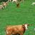 ビッグ · 牛 · フィールド · 食べ · 草 · 花 - ストックフォト © tepic