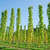 groeiend · hop · Oostenrijk · zomer · veld · groene - stockfoto © tepic
