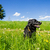 dog sitting in a summer meadow stock photo © tepic
