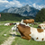 resting cows in austria stock photo © tepic