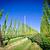 hop · veld · Oostenrijk · hemel · natuur · landschap - stockfoto © tepic