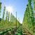 zonneschijn · hop · veld · groeiend · oogst · hemel - stockfoto © tepic