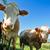 tehenek · kíváncsi · legelő · fényes · égbolt · nyár - stock fotó © tepic