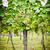 videira · branco · uvas · baixar · Áustria · vinho - foto stock © tepic