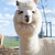 white alpaca stock photo © tepic
