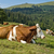 resting mottled cows stock photo © tepic