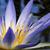 Amazon · красивой · Лилия · природы · лист · саду - Сток-фото © thisboy