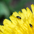 besouro · dandelion · flor · pequeno · preto · florescer - foto stock © thomaseder