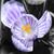 açafrão · flor · branco · páscoa · primavera - foto stock © thomaseder