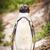 pinguim · 20 · cidade · colônia · ocidental · África · do · Sul - foto stock © thp