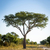 tree in africa stock photo © thp