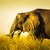 elephant in long grass stock photo © thp