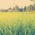 mező · fű · tökéletes · naplemente · tavasz · fa - stock fotó © thp