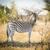 zebra stock photo © thp