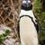 africano · pinguim · naturalismo · ambiente · praia · África · do · Sul - foto stock © THP