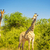 giraffes in africa stock photo © thp