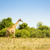 wild giraffe in africa stock photo © thp