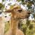 alpaca stock photo © thp