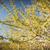 acacia tree thorns stock photo © thp