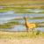 impala on chobe river botswana stock photo © thp