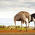 Ostrich Family With Chicks stock photo © THP