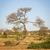 botswana tree stock photo © thp
