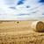 пшеницы · урожай · время · красивой · закат · живописный - Сток-фото © thp