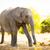 elefánt · baba · szavanna · Afrika · állat · természet - stock fotó © thp