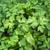 kişniş · büyüyen · çiftlik · gıda · yaprak · beyaz - stok fotoğraf © thp