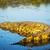 aligátor · vad · naplemente · folyó · park · Botswana - stock fotó © THP