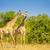 giraffe in africa stock photo © thp