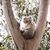 coala · estrada · meio · olhos · rua · viajar - foto stock © thp
