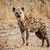 spotted hyena stock photo © tiero
