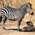 zebra mother and baby stock photo © tiero
