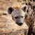 hyena portrait stock photo © tiero