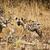 гиена · ходьбе · зеленый · парка · Safari · тесные - Сток-фото © tiero