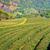 chá · plantação · paisagem · Tailândia · natureza · floresta - foto stock © timbrk