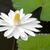 fehér · rügy · tavacska · virág · levél · zöld - stock fotó © tito