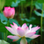 lotus · gölet · arka · plan · Çin - stok fotoğraf © tito